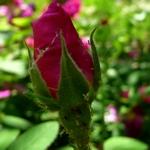 roses P1290531.JPG