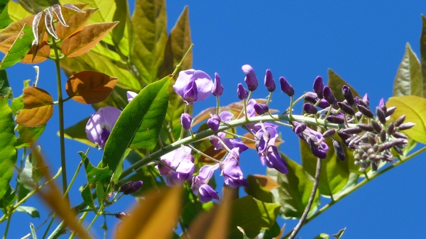 fleur glycine P1380984