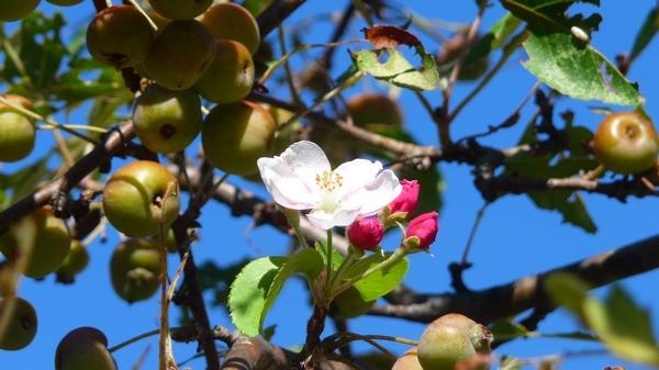 fleur pommier P1380983