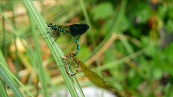 libellules P1390485