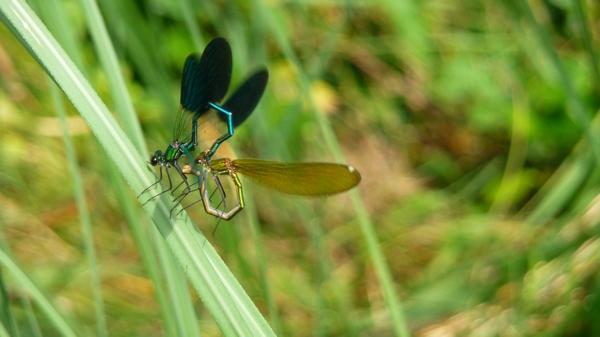 libellules P1390488