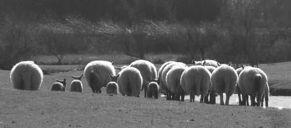 moutons P1260695