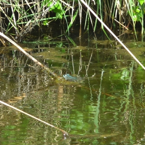grenouille P1440286
