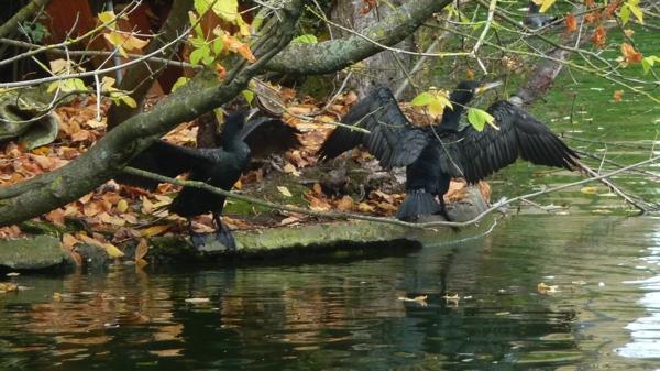 cormorans à Bordeaux.JPG