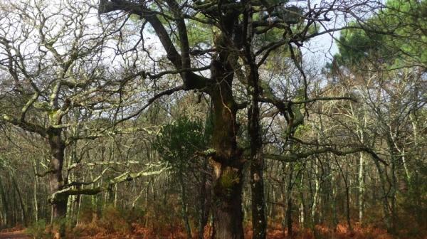 arbre Andernos.JPG