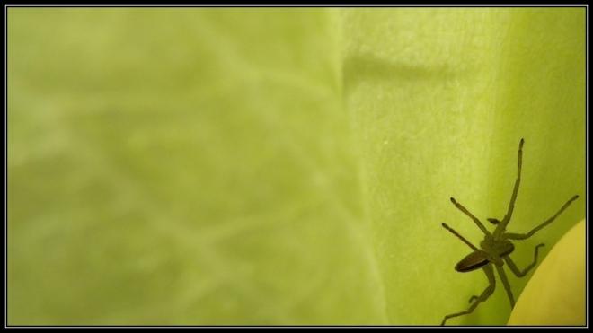 araignée et arum