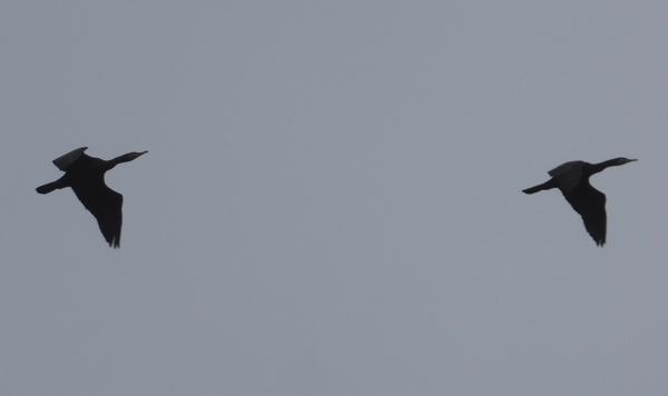 oct-cormorans-2-jpg
