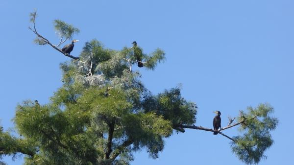 oct-cormorans-jpg