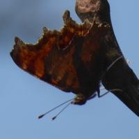 papillonP1100255.JPG