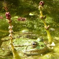 grenouille-P1120363.JPG