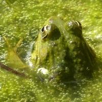 grenouille-P1120367.JPG