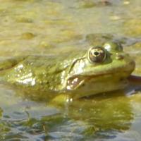 grenouille-P1120369.JPG