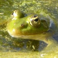 grenouille-P1120372.JPG