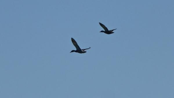 oiseaux-P1110258.jpg