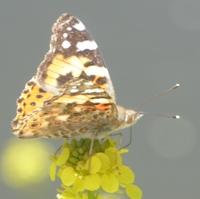 papillon-P1120033.JPG