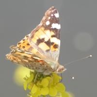 papillon-P1120034.JPG