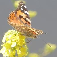 papillon-P1120035.JPG