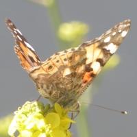 papillon-P1120037.JPG