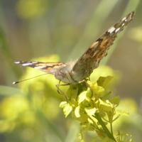 papillon-P1120041.JPG