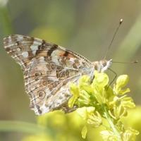 papillon-P1120043.JPG