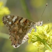 papillon-P1120044.JPG