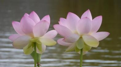 lotus-P1150266.JPG