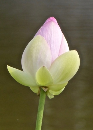 lotus-P1150267.jpg