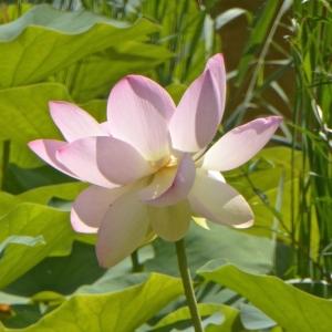 lotus-P1150275.jpg