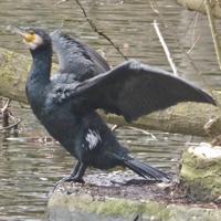 cormoran-P1170946.jpg