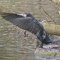 cormoran-P1170947.jpg