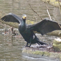 cormoran-P1170953.jpg