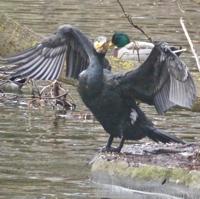cormoran-P1170954.jpg