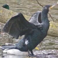 cormoran-P1170960.jpg