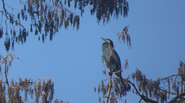 janvier cormoran.jpg