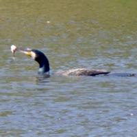 cormoran-1.jpg