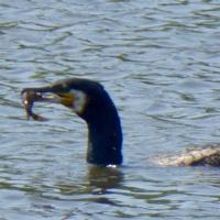 cormoran-4.jpg