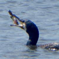 cormoran-5.jpg