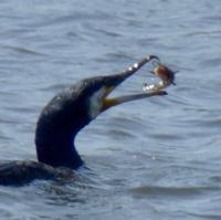 cormoran-6.jpg