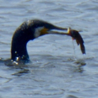 cormoran-8.jpg