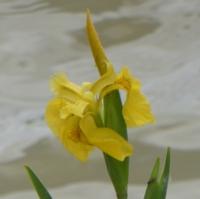 iris-9.jpg