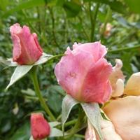 rose-P1200234.jpg
